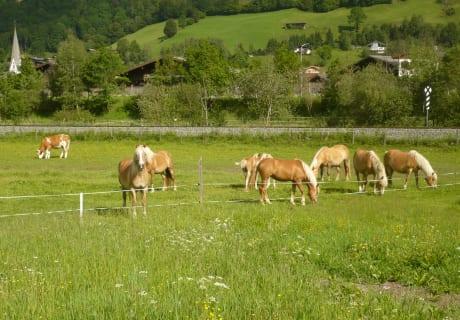 Unsere Pferde auf der Weide