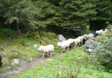 Schafe - Almabtrieb