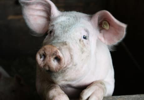 Glücksschwein