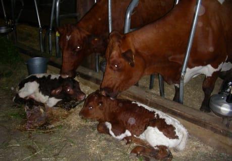 Kälber mit Muttertier