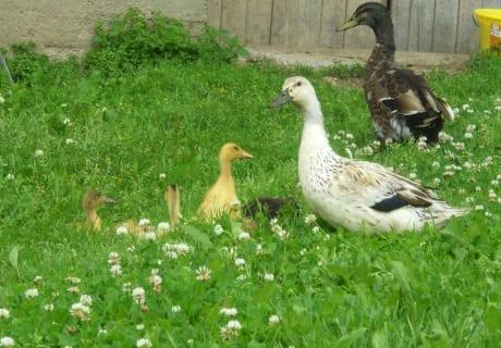 unsere Entenfamilie - immer wachsam