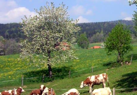 Kalbinnen auf der Weide