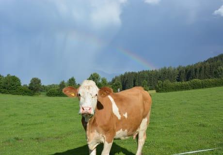 Unsere Kühe genießen den Aufenthalt auf unserer Wiese.