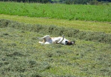 Unser Hofhund fühlt sich auch bei der Heuernte sehr wohl.