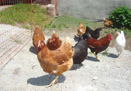 Menthof_unsere Hühner