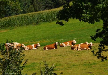 Even the cows have earned themselves a break