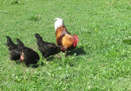 Hahn Hermann mit seinen Hühnern