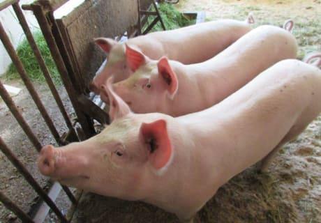 Unsere Hausschweine
