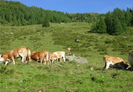 Bei den Kühen auf der Alm