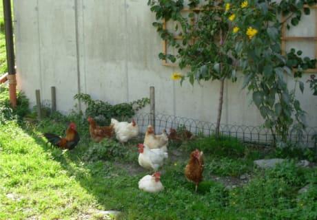 ein Teil von unserem Hühnervolk