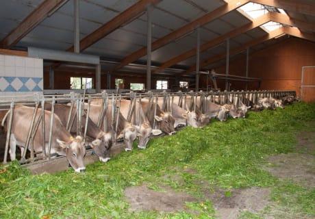 Kühe im Laufstall