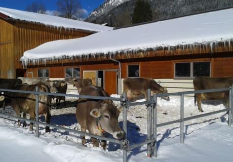 Unsere Milchkühe im verschneiten Auslauf
