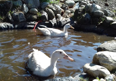 Unsere Enten im Fischteich