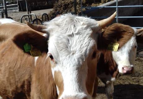 Unsere jungen Kühe
