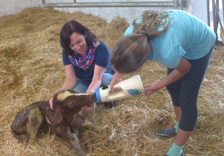 Kälbchen füttern nach der Geburt