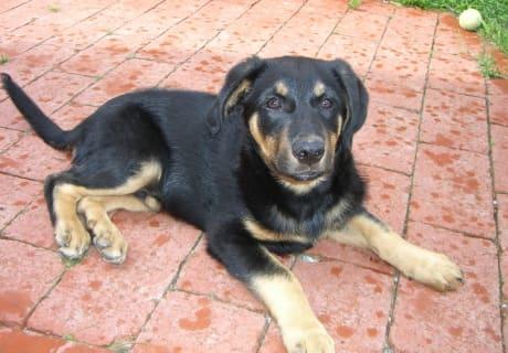 Haushund Bello