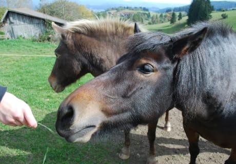 beim füttern der Pferde