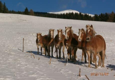 Pferdeherde Winter