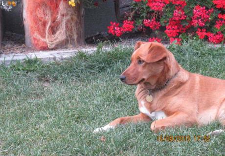 Haushund Lucy