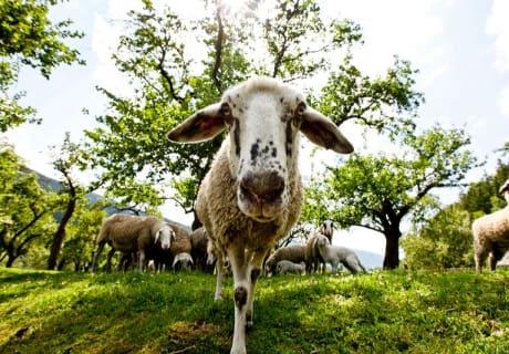 Achtung Schaf