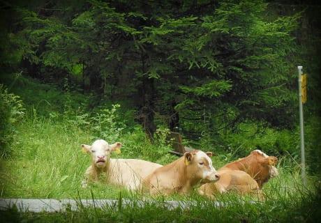 Almurlaub der Kühe