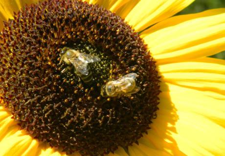 Die herbstlichen Ausflüge der Bienen