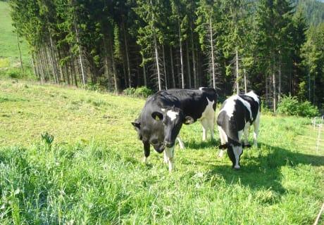 Unsere Kühe fressen frisches Gras