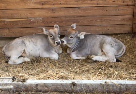 Kälber - das ganze Jahr über am Bauernhof anzutreffen