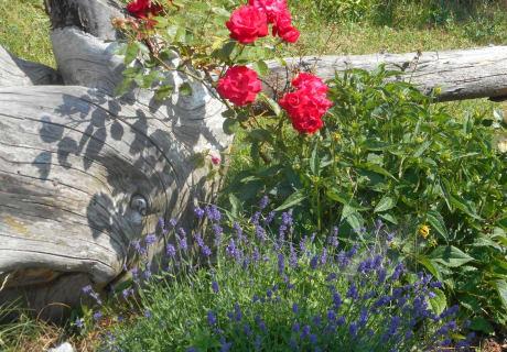 Lavendl Rose Urlaub am Tobadillerhof
