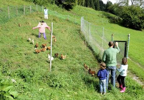 Ob die Hennen schon ein Ei gelegt haben?
