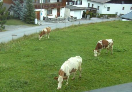 unsere Kühe auf der Weide