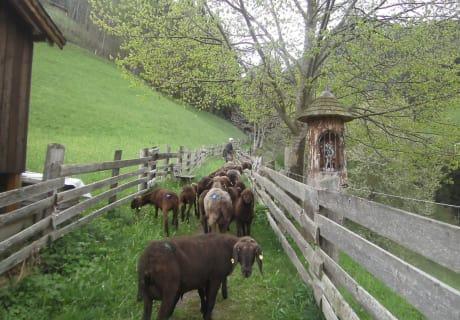 unsere Schafe, ( das braune Tiroler Bergschaf ) kommen auf die Weide.