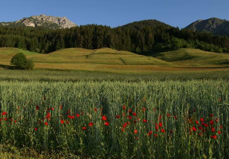 Roggen von den Feldern des Kassnhofes