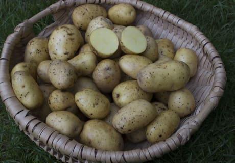 Frische Kartoffeln von unserm Feld