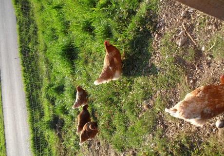 Hühner am Bauernhos