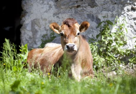 Calf on the alpine pasture