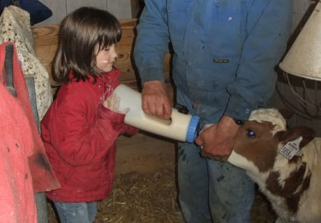 Feeding calves