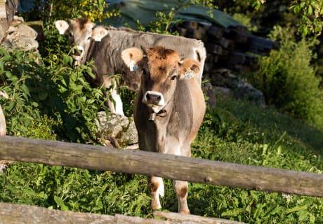 Tiroler Grauviehkälber auf der Heimweide am Biohof-Inntalblick