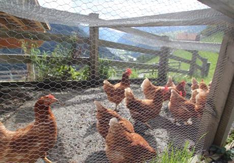 glückliche Hofhühner