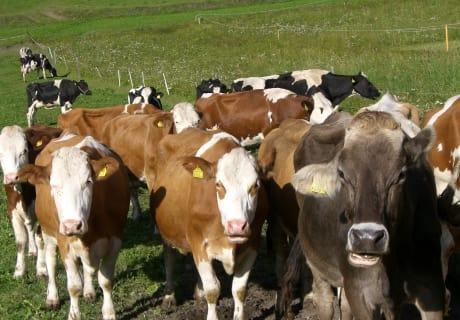 Unsere Milchkühe auf der Hofweide