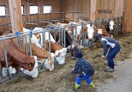 Beim Füttern der Kühe