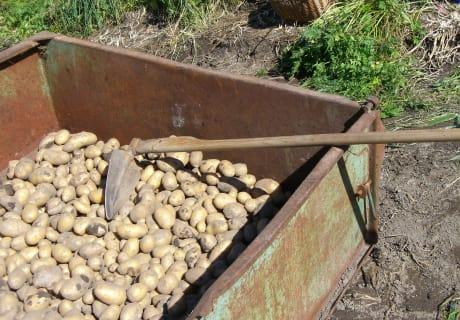 Frisch geerntete Bio-Kartoffeln