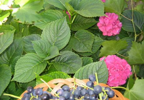 Naturbelassene Trauben gibt es im Herbst auch zum Frühstück