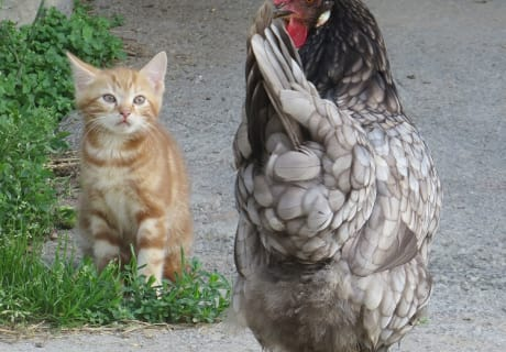 Fridolin und die Henne