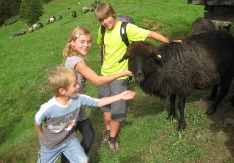 Beim Wandern auf Schafe treffen