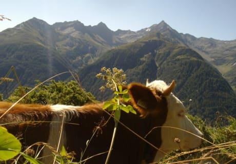 Unsere Rinder genießen den Sommer auf der Alm