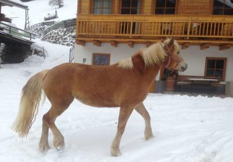 Haflinger Lyria