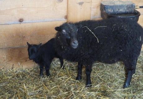 """unsere """"schwarzen"""" Schafe am Hof"""