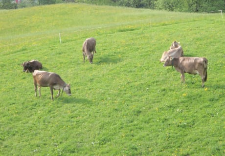 Im Frühjahr und im Herbst sind unsere Kühe auf der Weide vor dem Haus im Sommer auf der Alm