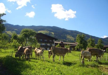 unere Kühe kommen von Apil bis November täglich auf die Weide